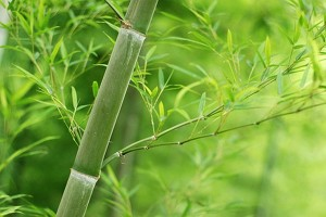 Menjadi Seperti Bambu